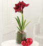 Marks and Spencer Flowers amaryllis